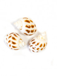Lotto 6 piccole conchiglie decorative