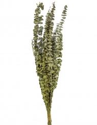 15 Rami di eucalipto seccon 150 gr 66 cm